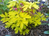 bleeding heart_yellow